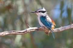Red-backed Kingfisher (Image ID 43034)