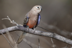Bourke's Parrot (Image ID 43114)