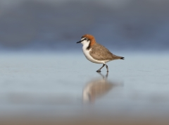 Red-capped Plover (Image ID 42902)