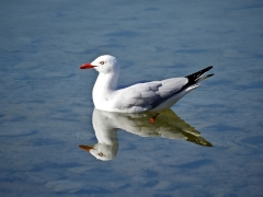 Silver Gull (Image ID 42722)