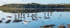 Australian Pelican, Little Pied Cormorant, Pied Stilt (Image ID 43064)