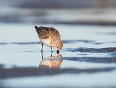 Red-necked Stint (Image ID 42883)