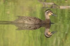 Pacific Black Duck (Image ID 42813)