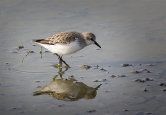 Red-necked Stint (Image ID 42769)