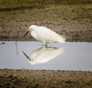 Little Egret (Image ID 42771)