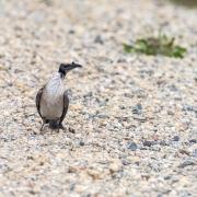 Noisy Friarbird (Image ID 43038)
