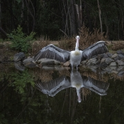 Australian Pelican (Image ID 42754)