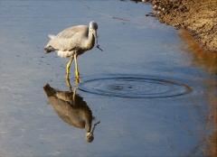 White-faced Heron (Image ID 42960)