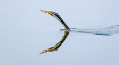 Australasian Darter (Image ID 42797)