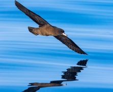 Flesh-footed Shearwater (Image ID 42861)