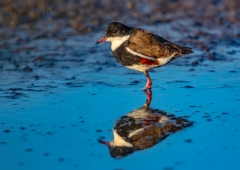 Red-kneed Dotterel (Image ID 42860)