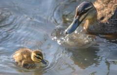 Pacific Black Duck (Image ID 43057)