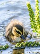Pacific Black Duck (Image ID 43058)