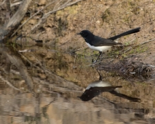 Willie Wagtail (Image ID 43016)