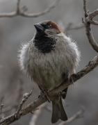 House Sparrow (Image ID 43071)