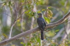 Fan-tailed Cuckoo (Image ID 43099)