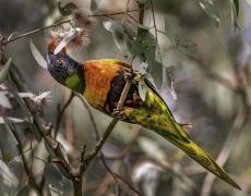 Rainbow Lorikeet (Image ID 43054)