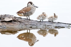 Pink-eared Duck (Image ID 42808)