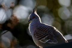 Crested Pigeon (Image ID 42650)