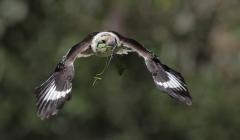 Laughing Kookaburra (Image ID 43438)
