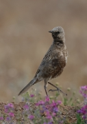 Brown Songlark (Image ID 43595)