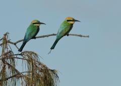 Rainbow Bee-eater (Image ID 43615)