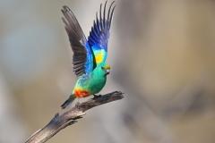 Mulga Parrot (Image ID 43552)