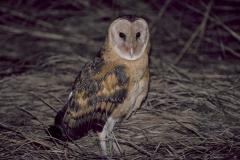 Eastern Grass Owl (Image ID 43566)