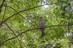 Powerful Owl (Image ID 43556)