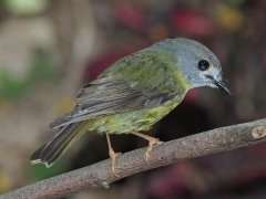 Pale-yellow Robin (Image ID 43648)