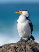 Little Pied Cormorant (Image ID 43614)