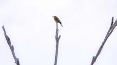 Rainbow Bee-eater (Image ID 43608)