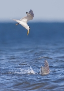 Greater Crested Tern (Image ID 43933)