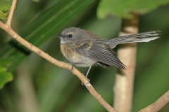 Grey Fantail (Image ID 44348)