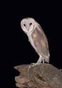 Barn Owl (Image ID 44379)