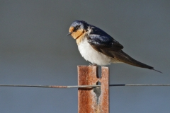 Welcome Swallow (Image ID 44391)