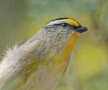 Striated Pardalote (Image ID 44363)