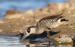 Pink-eared Duck (Image ID 44344)