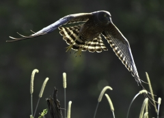 Spotted Harrier (Image ID 44336)