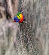 Rainbow Lorikeet (Image ID 44335)