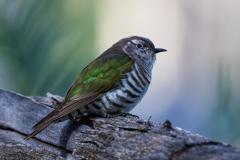 Shining Bronze-Cuckoo (Image ID 44272)