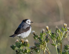 White-fronted Chat (Image ID 44375)