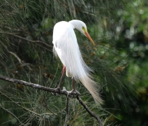 Plumed Egret (Image ID 44263)