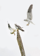 Black-shouldered Kite (Image ID 44070)