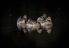 Australian Wood Duck (Image ID 44354)