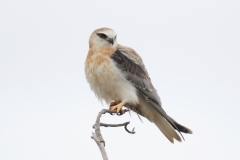 Black-shouldered Kite (Image ID 44274)