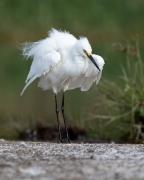 Little Egret (Image ID 44268)