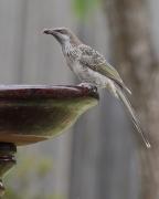 Little Wattlebird (Image ID 44835)