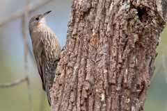 White-throated Treecreeper (Image ID 44989)