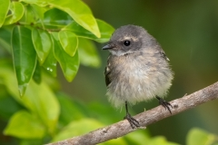 Grey Fantail (Image ID 44987)